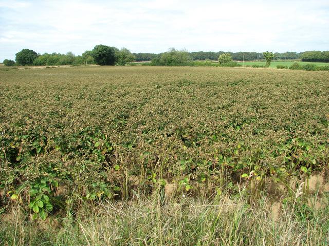 Potato crop east of Edgefield