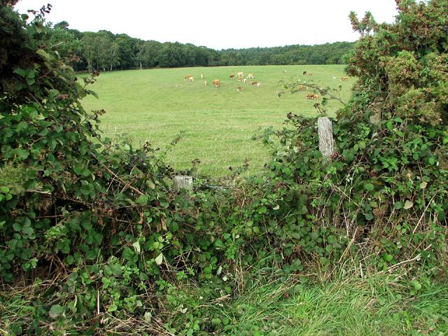 Cattle grazing on Plumstead Heath