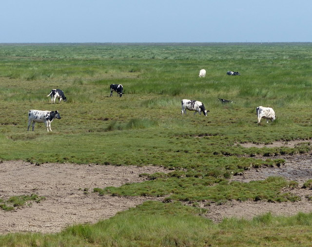 Cattle grazing Frampton saltmarsh