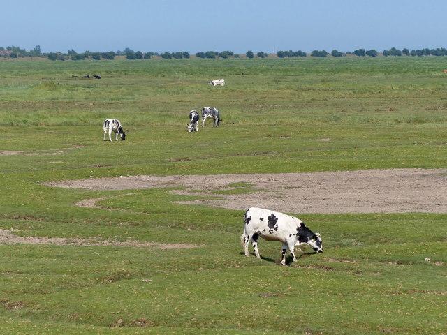 Cattle grazing the edge of the salt marsh