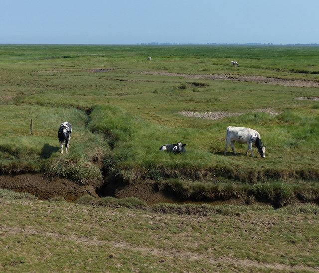 Cattle grazing the salt marsh at Frampton Marsh
