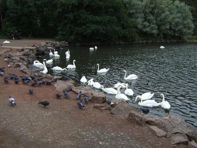 Swans on St Margaret's Loch