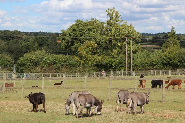 Donkeys at Lightfoot Alpacas