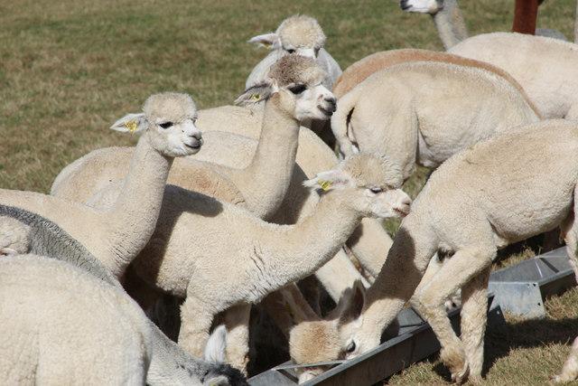 Feeding time at Lightfoot Alpacas