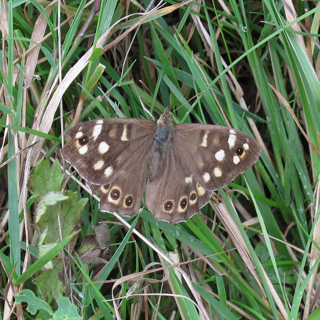 Speckled Wood butterfly (Pararge aegeria), Crowsheath Community Woodland, Downham
