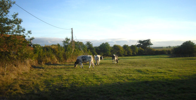 Cows in the Evening, Shellingford
