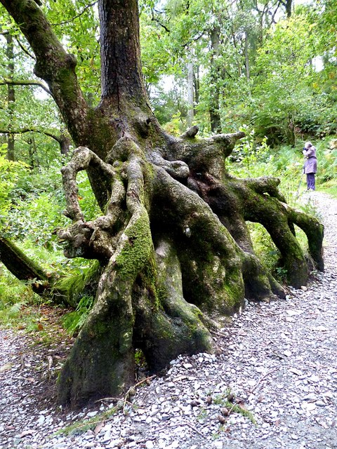 Exposed tree root near Skelwith Force