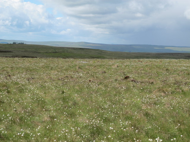 Bog cotton on Foulplay Knowe