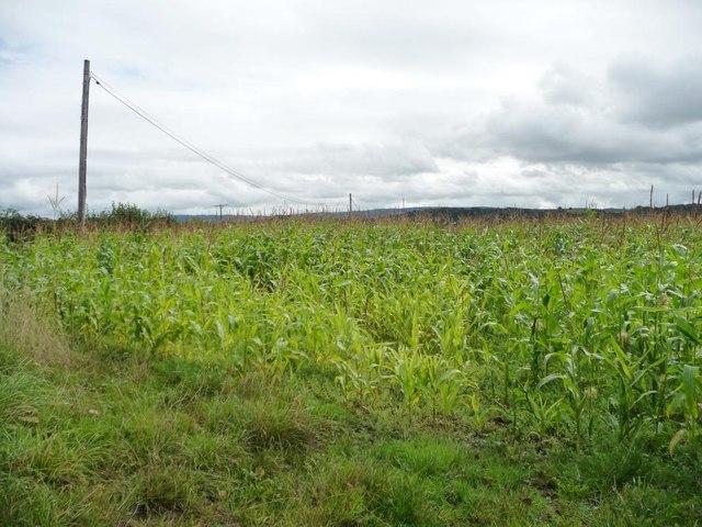 Hilltop maize field