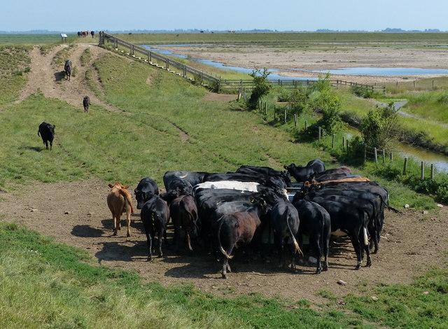 Herd of cows having a drink