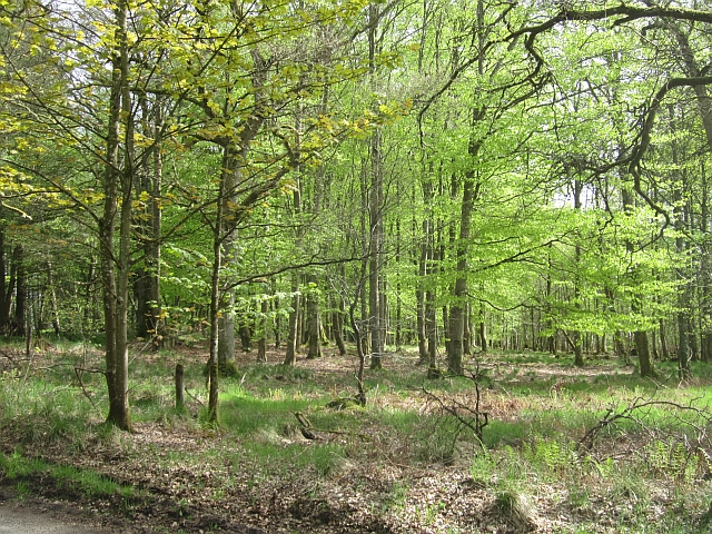 Beech wood, Long Plantation