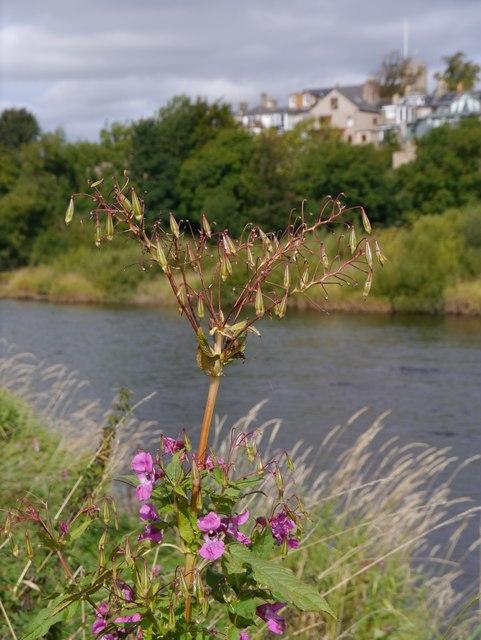Himalayan Balsam (Impatiens glandulifera) By The Tyne