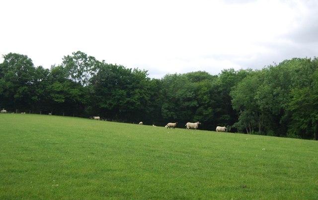 Sheep by Kemland Wood