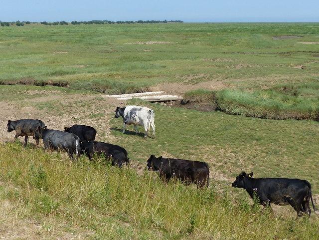 Cattle on the edge of the salt marsh
