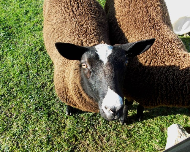 Zwartble sheep at High Stool Farm, Flagg