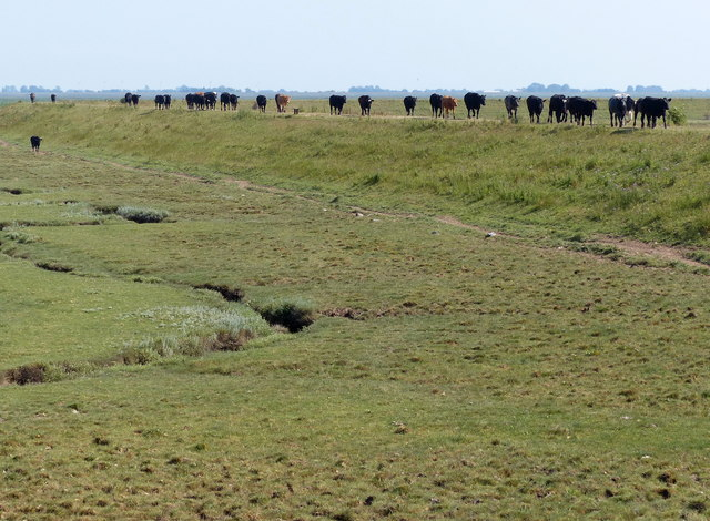 A line of cows along the sea bank