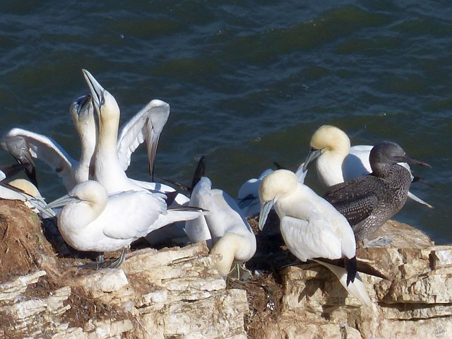 It's crowded up here, Bempton Cliffs