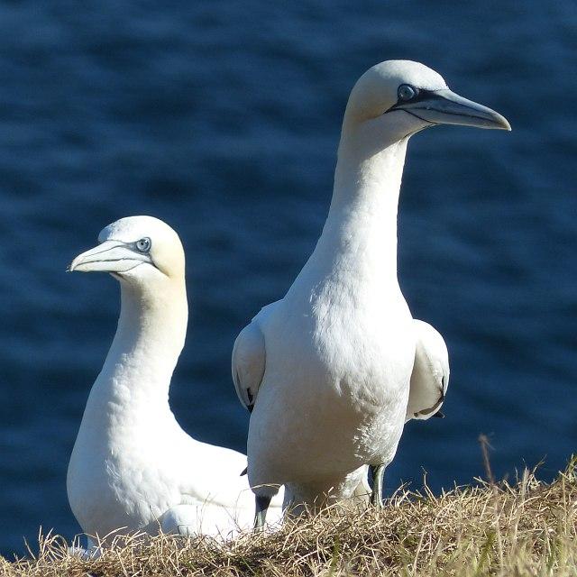 Two adult gannets, Bempton Cliffs