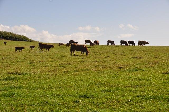 East Devon : Cattle Grazing