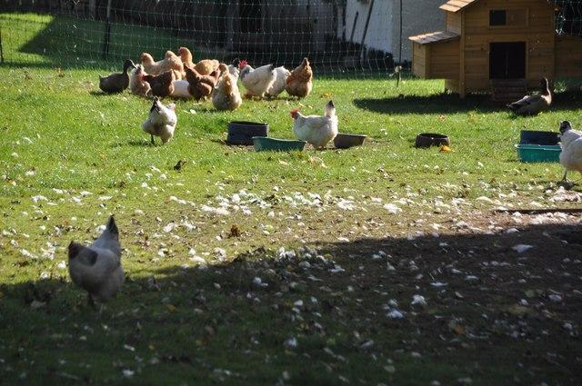 Columbjohn : Chickens at Columbjohn Cottages