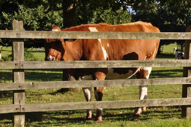 East Devon : Cow