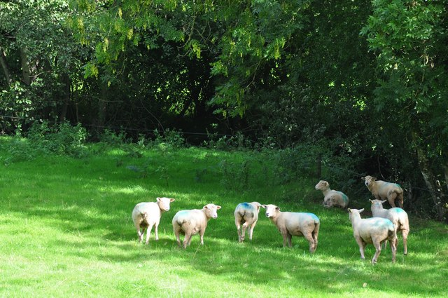 Mid Devon : Sheep Grazing
