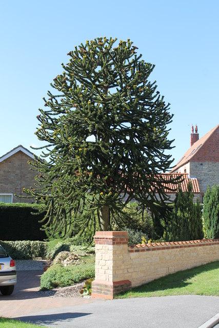 Monkey Puzzle tree, Sleaford Road, Wellingore