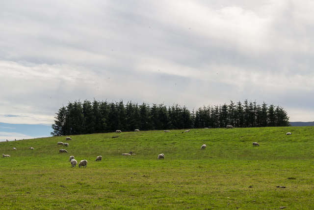 Sheep and Woodland near Nant Pedwar