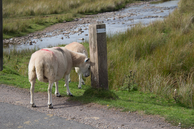 Sheep at Side of Road Leading to Pont ar Wysg