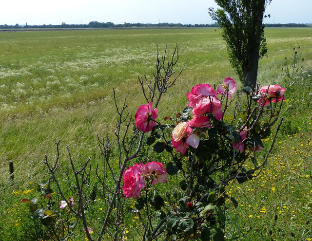 Roses along the Macmillan Way footpath