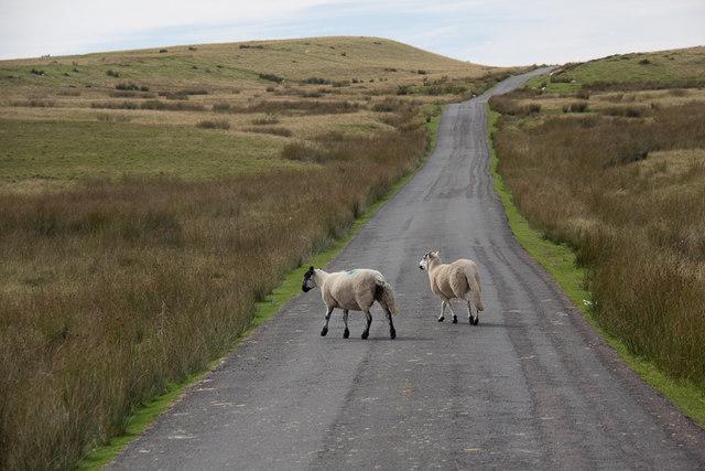 Sheep Crossing Mountain Road near Bylchau Blaenclydach