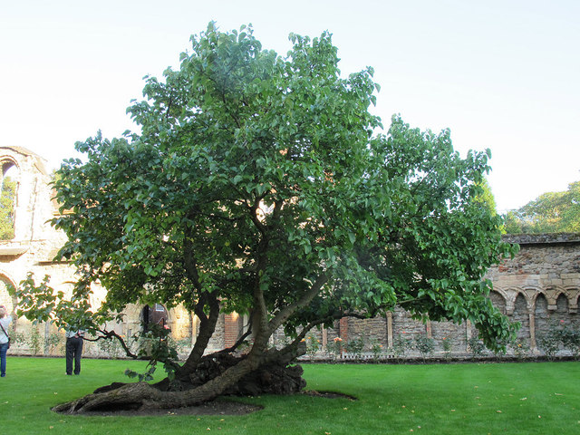 Rochester Cathedral: ancient tree