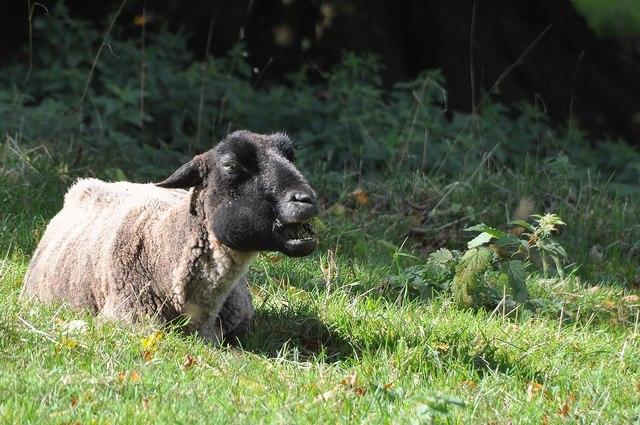 Cadeleigh : A Sheep