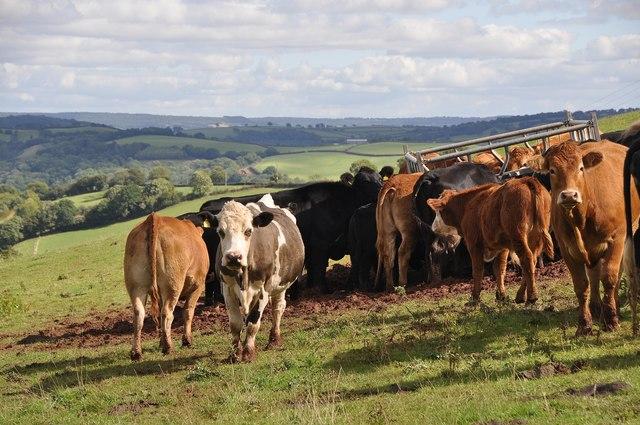 Cadeleigh : Cattle Grazing