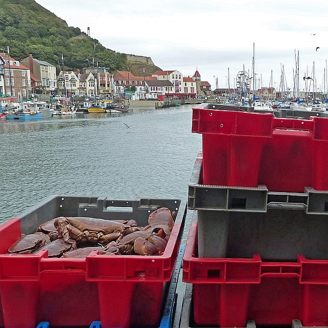 A catch of crabs, Scarborough Harbour