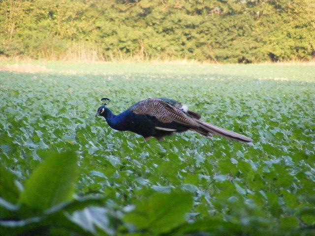 Peacock grazing on the Church Land Trust field
