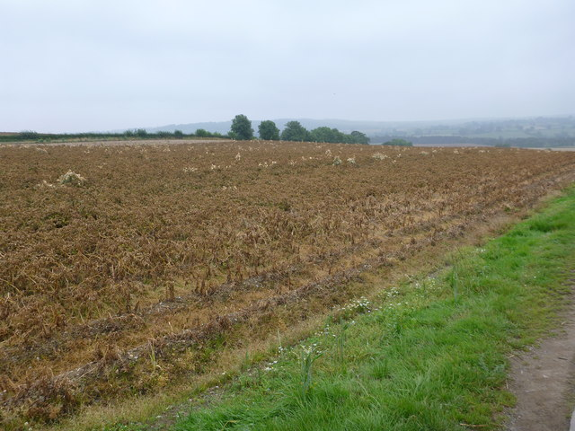 Slumbering potato crop