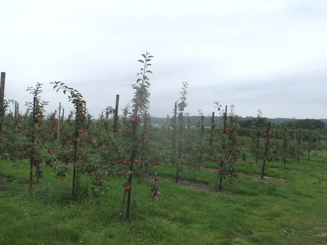 Apple orchard, Chesson's Farm