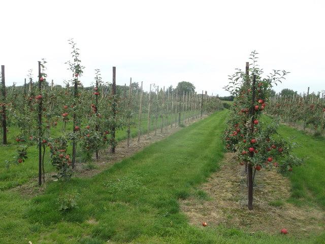 Apple orchard, Chesson's Farm