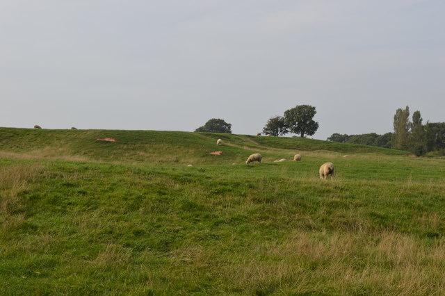 Sheep grazing on Butter Hill