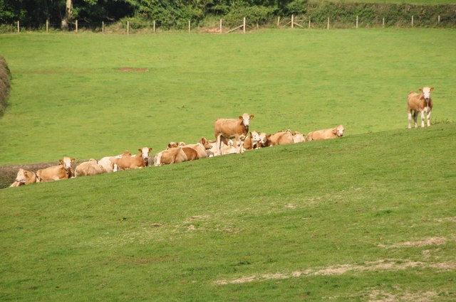 Mid Devon : Cattle Grazing