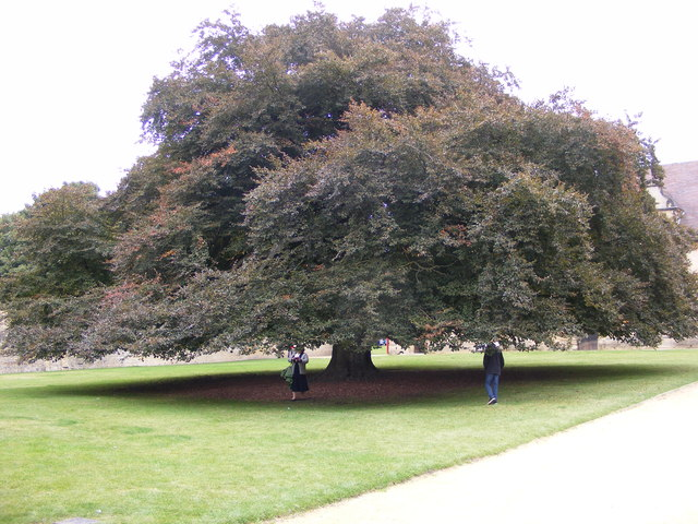 Large Copper Beech
