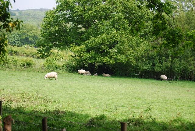 Sheep grazing by Powdermill Lane