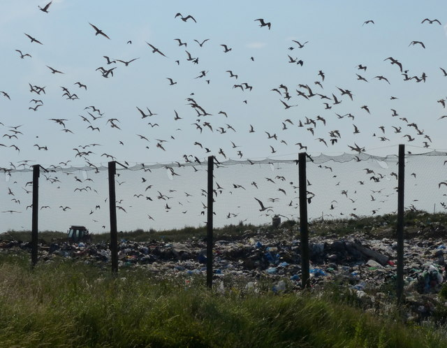 Seagulls over the waste disposal landfill site