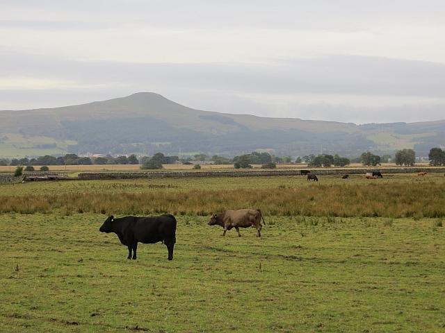Cattle near Easter Kilwhiss