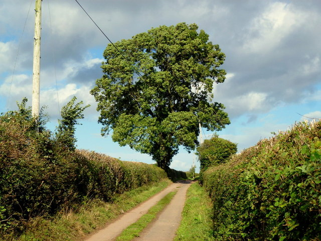 Green Lane oak