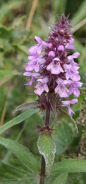Marsh Woundwort (Stachys palustris)