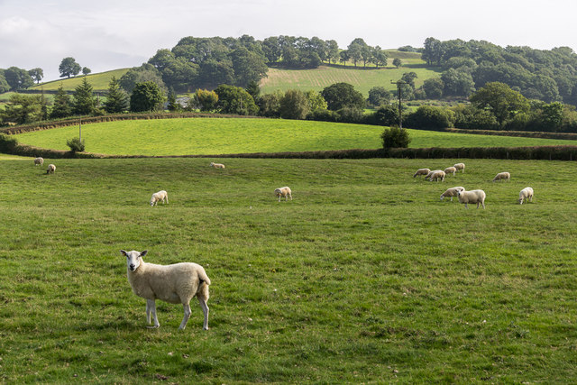 Sheep in Fields, Hundred House, Powys