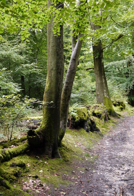 Beech trees along a woodbank