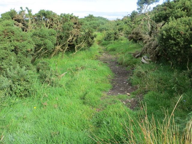 Cattle trod through the gorse on Killantringan Fell